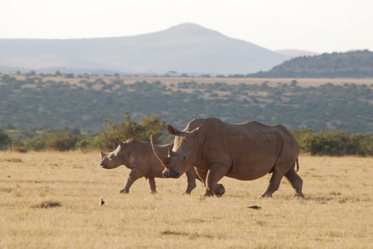 Rare Rhino Encounters! On Safari in Kenya with Rick