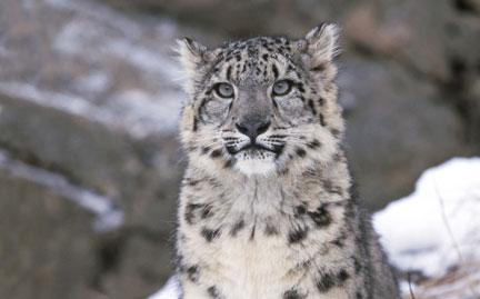 WWF Provides Life Insurance for Snow Leopards