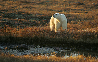 Polar bear in willows
