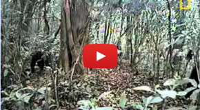 Video: Rare Cross River Gorilla Footage