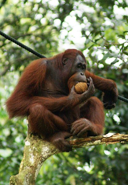 Wilderness Survival School for Orangutans