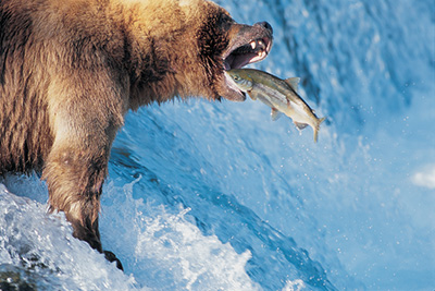 Crittercam: Grizzly Bear Catches a Salmon