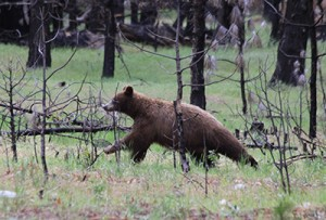 Bear in Yosemite National Park
