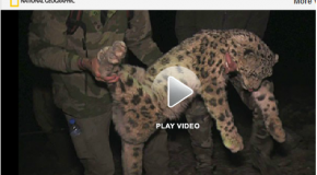 Snow Leopards Tagged in Afghanistan for the First Time