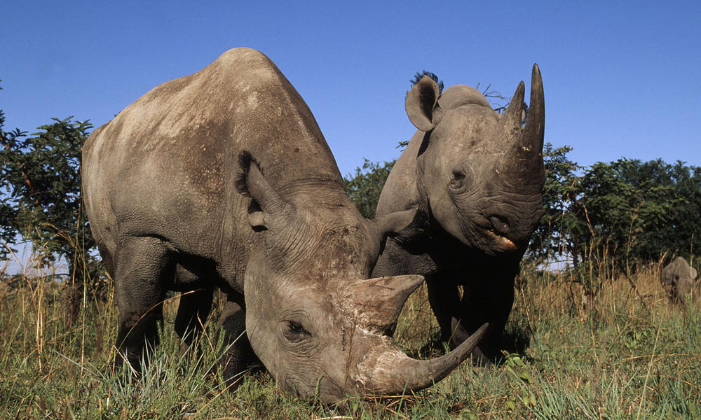 Rhinos Poached to the Brink