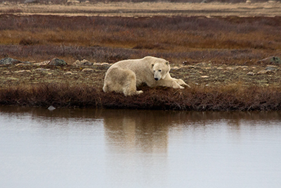 Polar bear by water