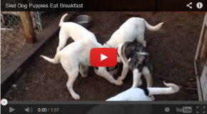 The Sled Dog Puppy Breakfast Wheel