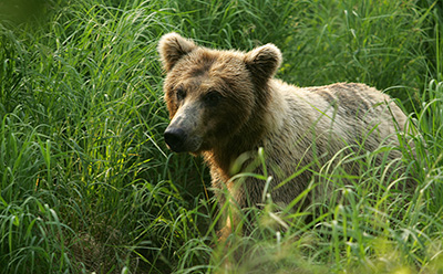 Grizzly bear in Katmai