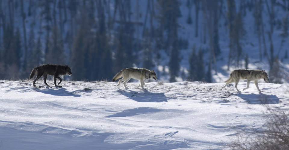Juggling Wolves in the Rockies