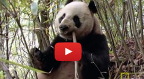 Rare Video: Wild Panda Eating Meat