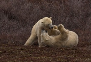 Two polar bears play-fighting