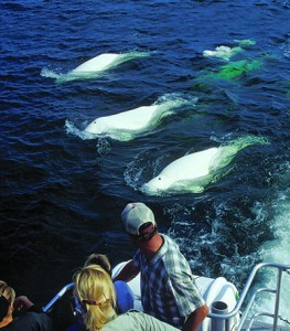 Beluga whales and boat