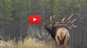 "Videos: Elk Win ""Best of Show"" at the International Wildlife Film Festival"