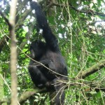 Chimpanzee in Uganda's Kibale Forest