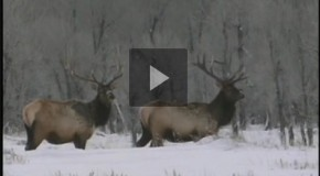 "Elk Win ""Best of Show"" at the International Wildlife Film Festival"