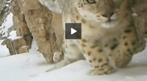 New Video of a Rare Snow Leopard