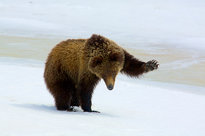Are Grizzlies Losing Federal Protections Too Soon?