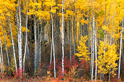 Aspens in Yellowstone