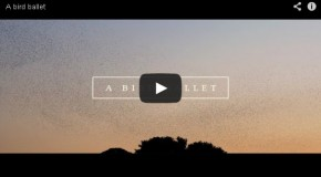 Starling Murmuration Captured on Film in France