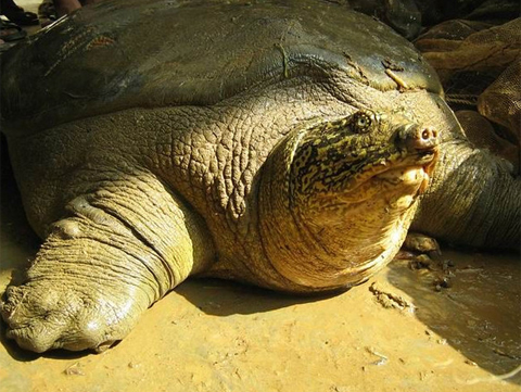 Red River Giant Softshell Turtle