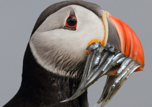 Atlantic Puffin in Seydisfjordur, Iceland