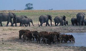 Elephants and sable