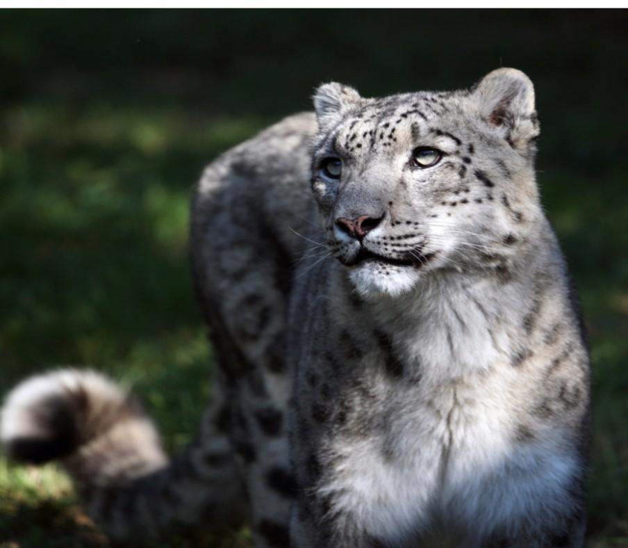 Snow Leopard Threatened Due to Rising Demand for Cashmere