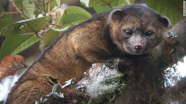 Olinguito - new mammal discovered in the Andes