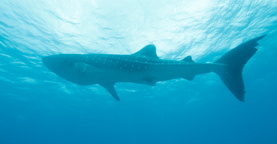 Image result for whale shark