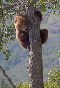 Grizzly bear in a tree