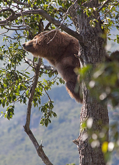 Grizzly Climbs a Tree in Katmai National Park and Preserve