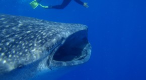 Celebrate International Whale Shark Day with 7 Fun Facts about Whale Sharks