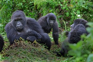 Three mountain gorillas