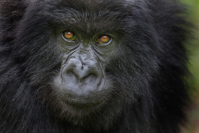 Gorillas Thwart Poachers: Should Animals Be Trained to Participate in Their Own Conservation?