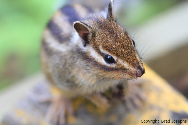 Swinhoe's striped squirrel in China