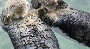 Celebrate Sea Otter Awareness Week with These Five Sea Otter Facts