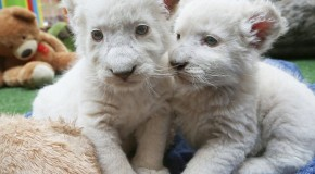 Rare White Lion Cubs Born at an Australian Wildlife Park!