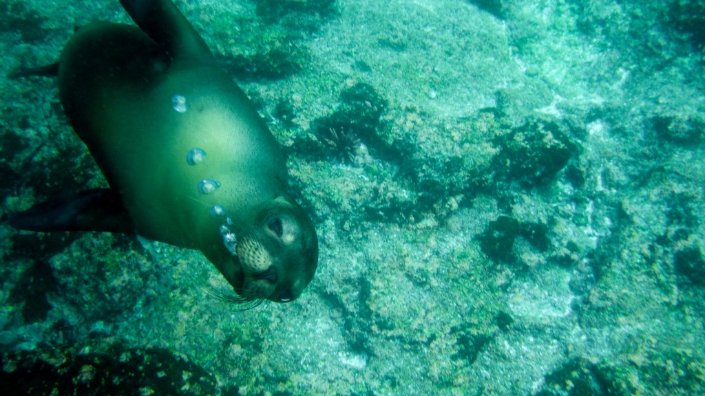 Sea lion underwater in the Galapagos