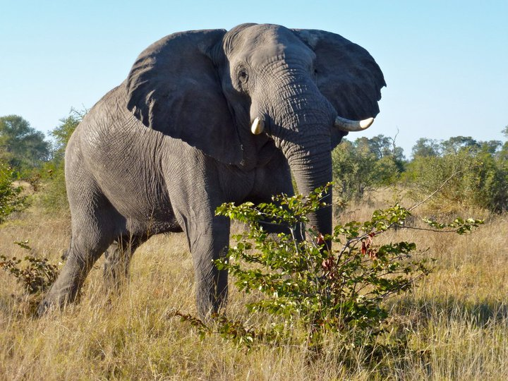 African bull elephant in Botswana's Moremi Game Reserve. Photo copyright: Wendy Worrall Redal