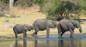 Will the U.S. Destruction of Six Tons of Ivory Truly Curtail Poachers?