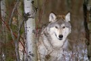 "Are Wolf Protection ""Kid Cages"" Necessary, or Just a Scaremongering Tool?"
