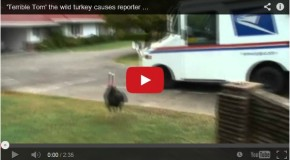 Wild Turkeys, Birds of Courage