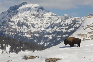 Winter buffalo in Yellowstone