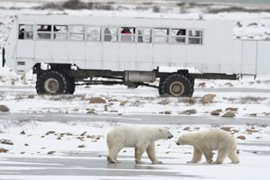 Churchill tundra vehicle and bears