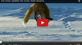 Video: A Hunting Red Fox Demonstrates His Scientific Method