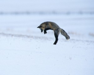 Pouncing red fox in Yellowstone National Park