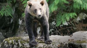 Could Grizzly Bears Hold the Secret to a Cure for Human Obesity?