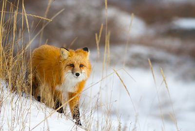 Red fox in Churchill