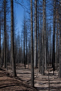 Burned trees, Yosemite National Park