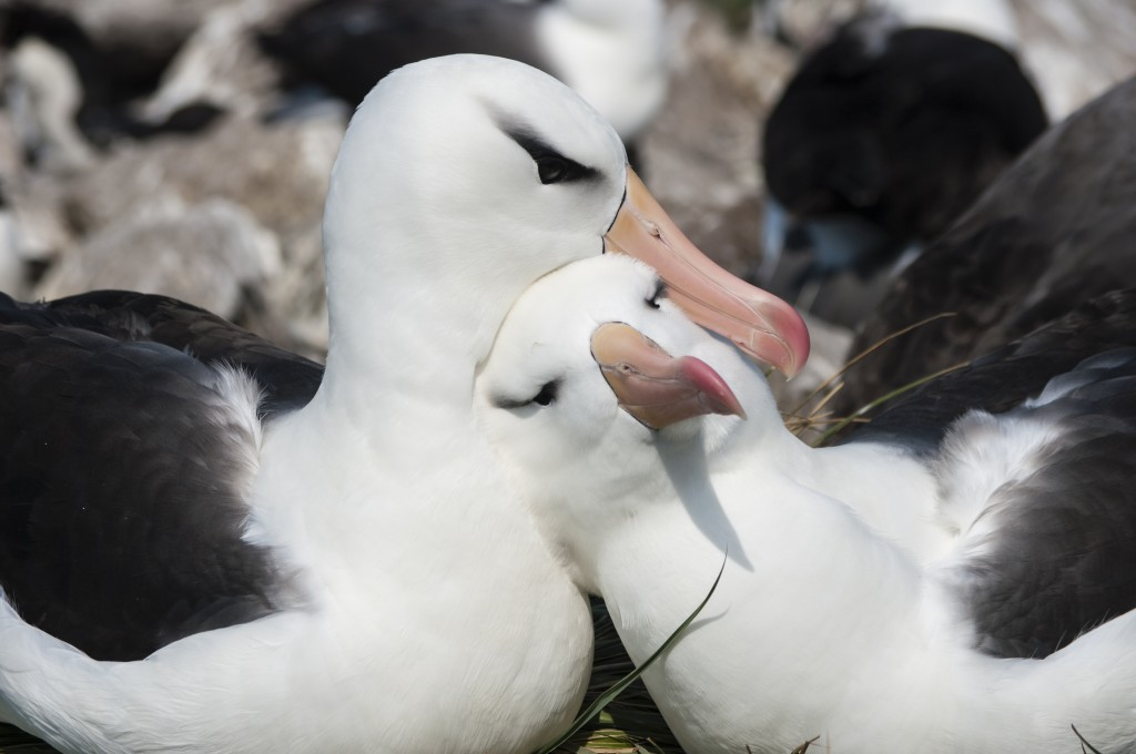 Giant albatrosses
